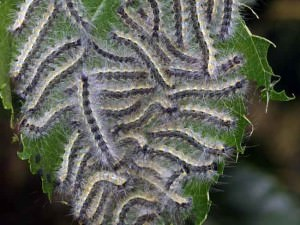Личинки американской белой бабочки