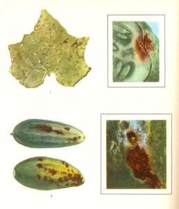 Болезни огурцов в теплице
