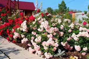 Бордюр из полиантовых роз