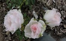 Dagmar Spath Сорт полиантовой розы