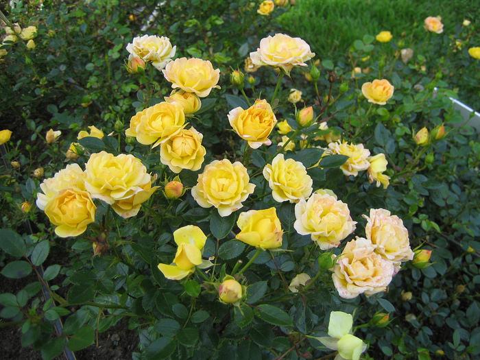 Желтые полиантовые розы