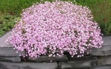 Гипсофила метельчатая розовая