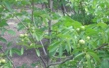 Грецкий орех Яглыджевюс