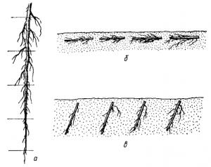 Размножение корневыми черенками