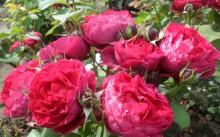 Что такое розы шрабы? Как сажать и ухаживать за ними?
