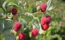 Малина в саду: посадка и уход, болезни и вредители, лучшие сорта