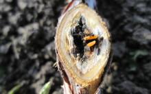 Малинная стеблевая галлица