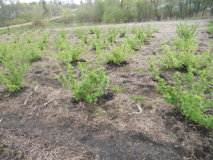 Плантация черной смородины