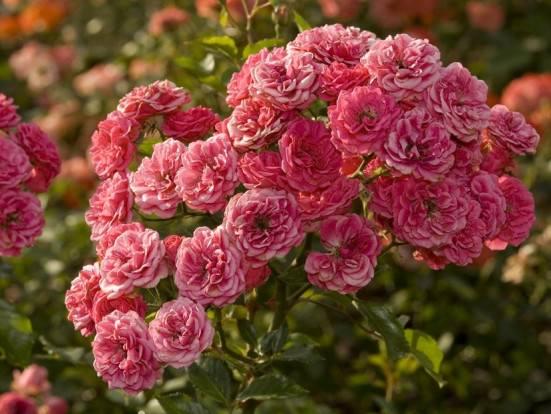 Полиантовая розовая роза