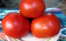 Сорт томата Красным Красно F1