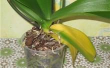 Пожелтение листьев и другие болезни орхидей: причины и лечение