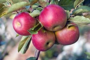 Вегетация яблонь