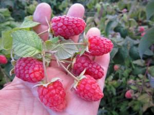 Величина ягод малины Брянское диво