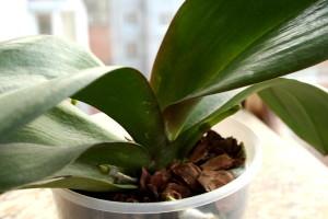 Болеющие листья орхидеи