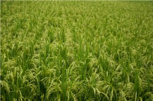 7 самых популярных видов риса