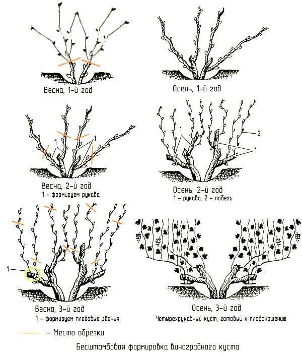 Бесштамбовая формировка куста винограда