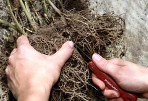 Деление корней при пересадке