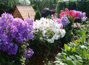 Флоксы в саду