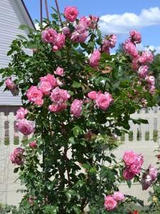 Плетистая роза Хендель