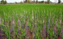 как растет рис