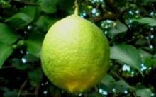 Майкопский лимон