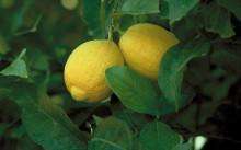 Лисбон лимон