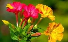 Мирабилис или ночная красавица: лучшие сорта, посадка и уход, размножение