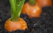 Лучшие способы хранения моркови зимой