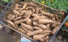 В глине - хранение моркови