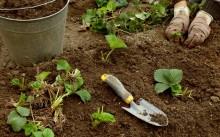 Как пересадить клубнику осенью?