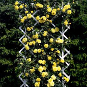 Роза на опоре