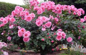 Куст плетистой розы
