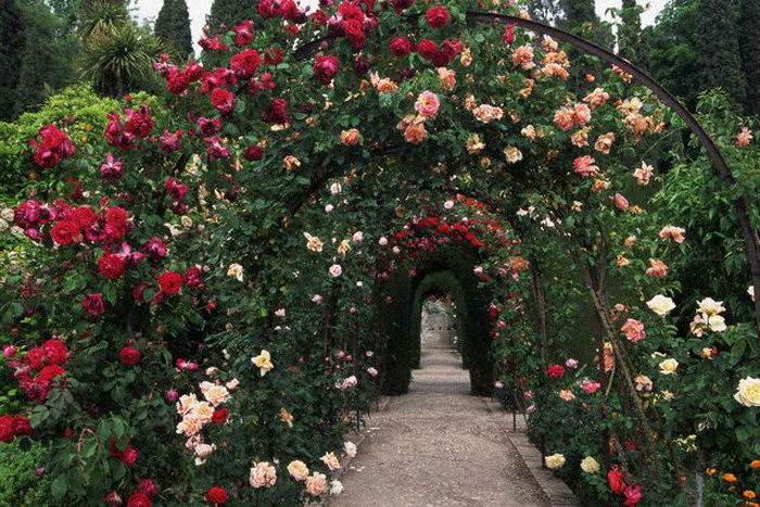 Плетистые розы на арке