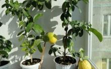 Пондероза лимон