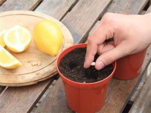 Посадка семечка лимона