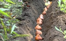 Луковицы тюльпанов гряде