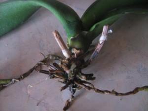 Проблемные корни орхидеи