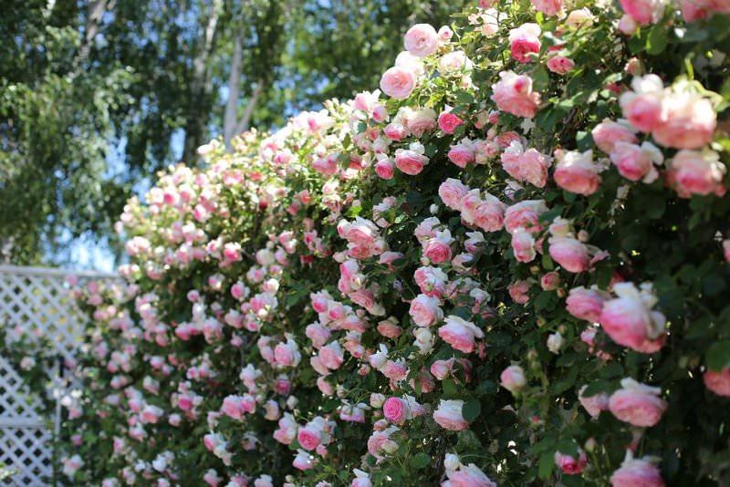 Плетистая роза Пьер де Ронсар