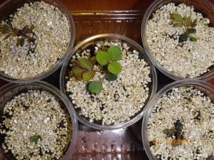 Ростки роз из семян