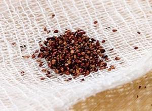 Семена на марле
