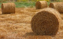 Солома пшеничная