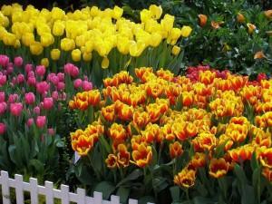 Высадка тюльпанов по высоте
