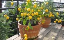 Комнатный лимон: уход и выращивание, подкормки и вредители, лучшие сорта