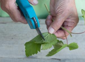 Размножение смородины черенками зелеными