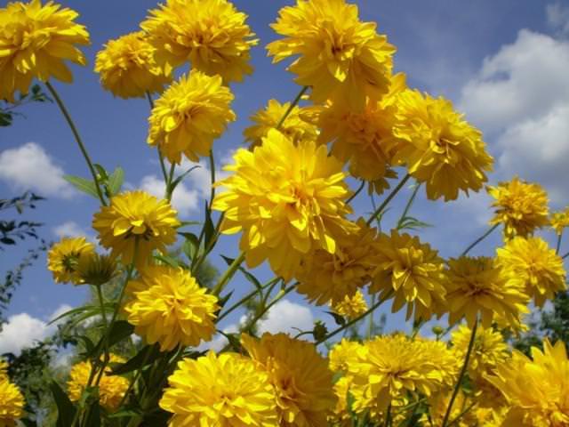 Золотой шар - цветы