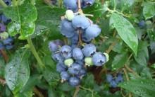 Сорт голубики садовой Jersey