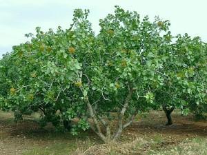 Фисташковое дерево в природе