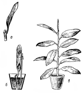 Размножение фикуса листом