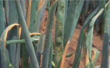 Ржавчина лука