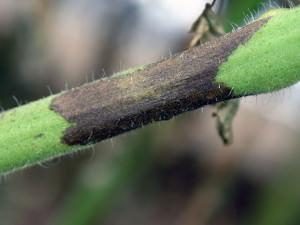 Потемнение стебля при поражении фитофторозом